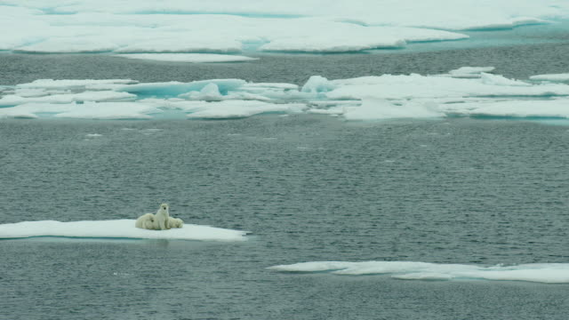 polar bear family rests on an ice floe - galleggiare sull'acqua video stock e b–roll