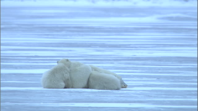 vidéos et rushes de a polar bear family snuggles together on a frozen lake in churchill, canada. - famille d'animaux