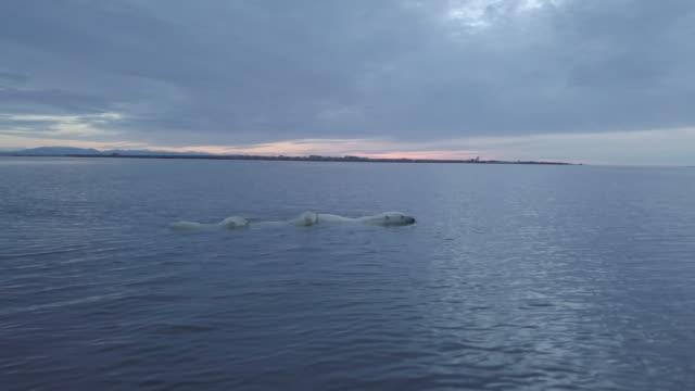 polar bear family swimming in the sea, kaktovik, alaska - animal family stock videos and b-roll footage
