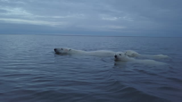 polar bear family swimming in the sea, kaktovik, alaska - small group of animals stock videos & royalty-free footage