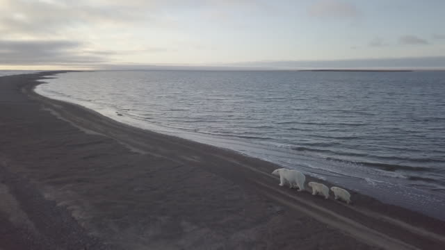 polar bear family walking on a beach of kaktovik - small group of animals stock videos & royalty-free footage