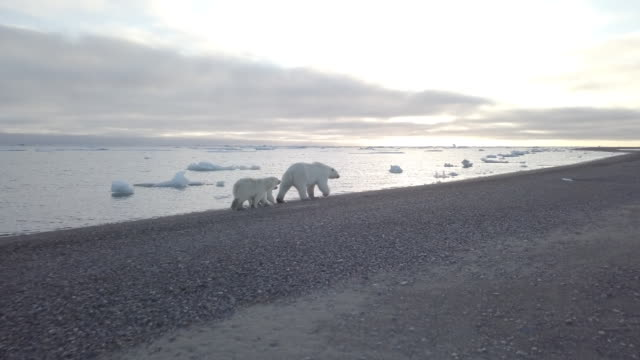 stockvideo's en b-roll-footage met polar bear family walking on a beach of kaktovik - reportage