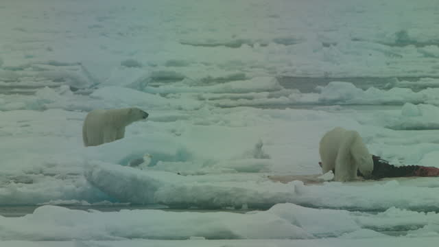ws polar bear feeds on large carcase with ivory gulls in foreground as second bear approaches - kleine gruppe von tieren stock-videos und b-roll-filmmaterial