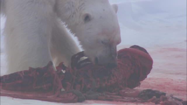 a polar bear feeds on seal kill in svalbard, arctic norway. - seals stock videos and b-roll footage