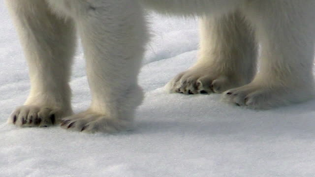 Polar bear feet closeup, Svalbard, Norway