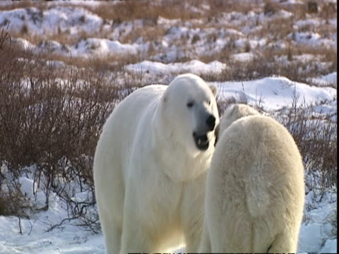 polar bear (ursus maritimus) female backing off from male, near churchill, manitoba, canada - animal behaviour stock videos & royalty-free footage