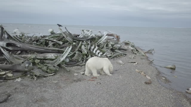 vidéos et rushes de polar bear finding meat near whale bone graveyard - gris