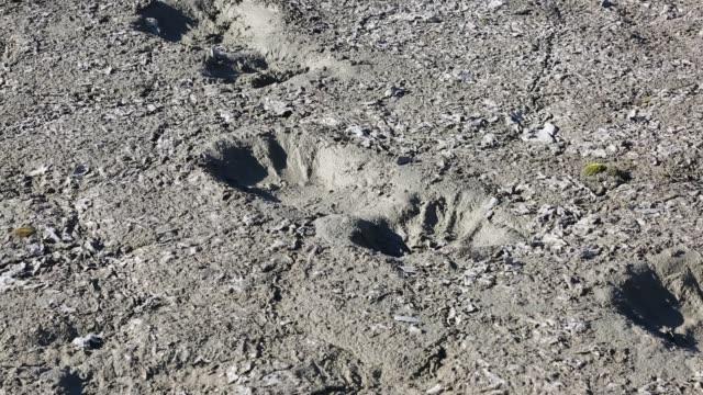 vidéos et rushes de polar bear footprints in melting permafrost on northern svalbard. - empreinte de pas