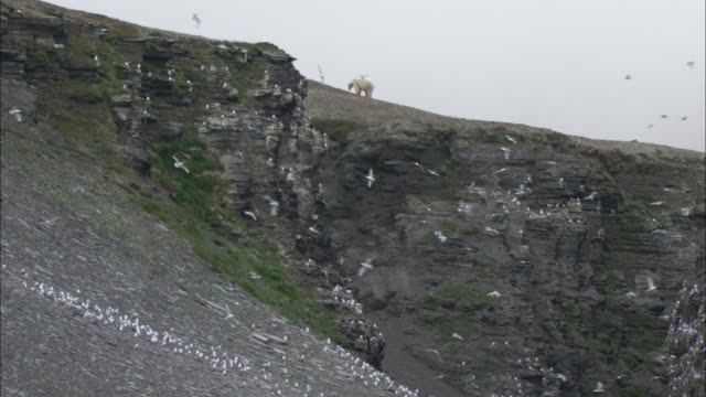 a polar bear forages near a seabird colony in svalbard, norway. - foraging stock videos and b-roll footage