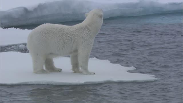 Polar bear forages on edge of sea ice, Svalbard, Arctic Norway *PLEASE DO NOT ALTER SHOT DESC*