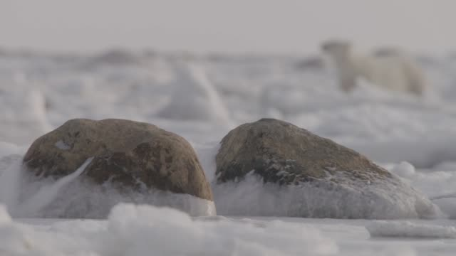 polar bear forages on sea ice - ice stock videos & royalty-free footage