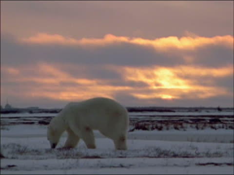 polar bear foraging through snow at sunset (ursus maritimus) / churchill, manitoba, canada - foraging stock videos and b-roll footage