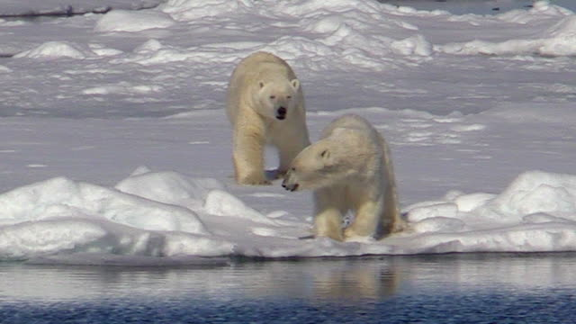 vidéos et rushes de polar bear forcing smaller bear into water svalbard, norway - banquise flottante