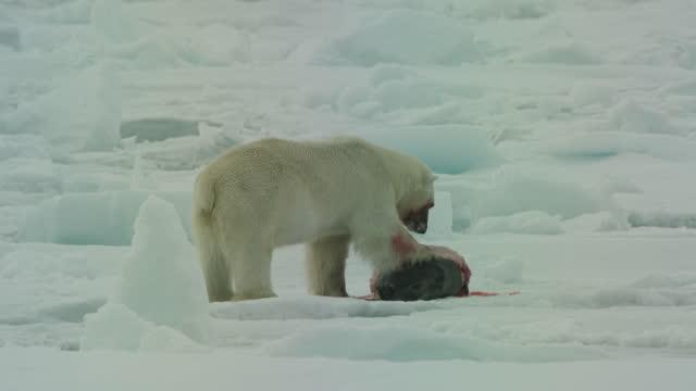 vídeos de stock, filmes e b-roll de polar bear holding down and eating blubber from seal carcase in ice field - forma da água