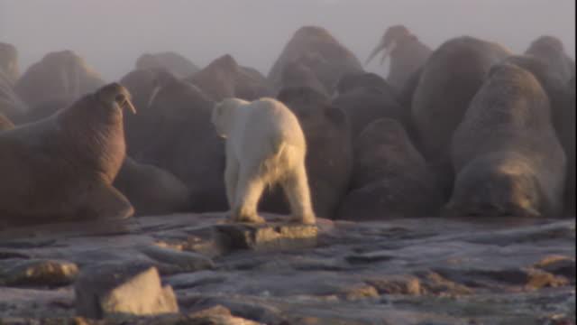 A polar bear hunts amongst colony of walruses. Available in HD.
