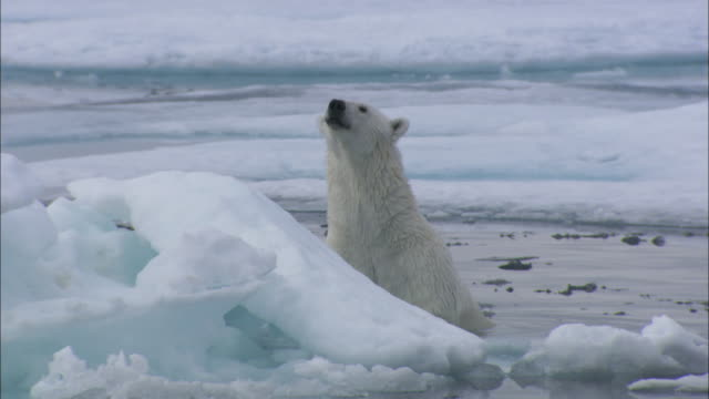 A polar bear hunts amongst ice floes in Svalbard, Arctic Norway.