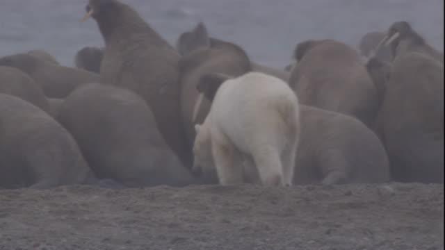 a polar bear hunts colony of walruses on coast. available in hd. - eisbär stock-videos und b-roll-filmmaterial