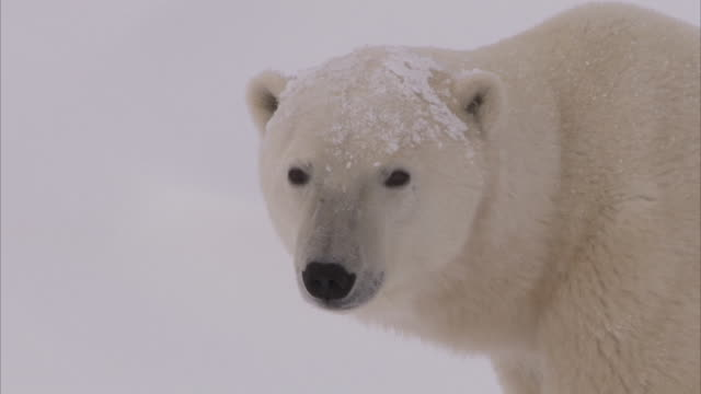 polar bear in day den in snow, churchill, manitoba, canada - クマ点の映像素材/bロール