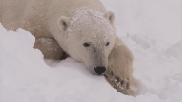 polar bear in day den in snow, churchill, manitoba, canada - lying down stock videos & royalty-free footage