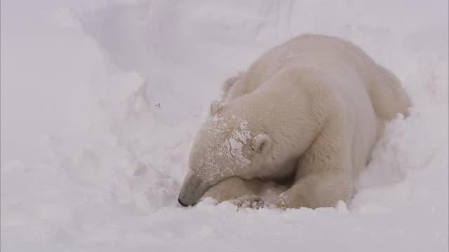 Polar bear in day den in snow, Churchill, Manitoba, Canada