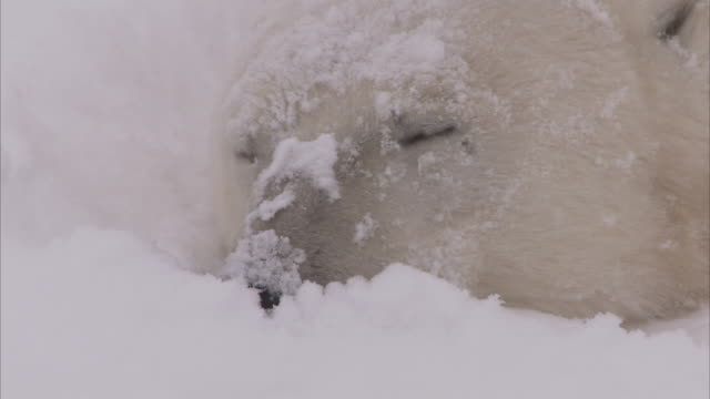 polar bear in day den in snow, churchill, manitoba, canada - animal head stock videos & royalty-free footage