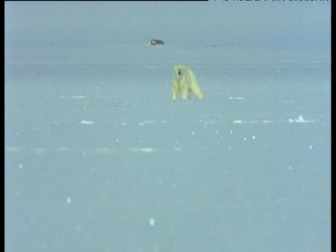 polar bear in distance, tilt down and pull focus to seal pup and mother, svalbard - robbe stock-videos und b-roll-filmmaterial