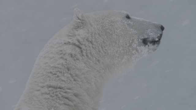 polar bear in snow storm, canada - sitting stock videos & royalty-free footage