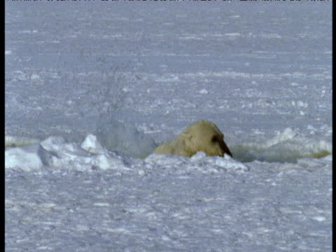 polar bear jumps into breathing hole trying to catch beluga then clambers out, grise fjord - sidoflik bildbanksvideor och videomaterial från bakom kulisserna