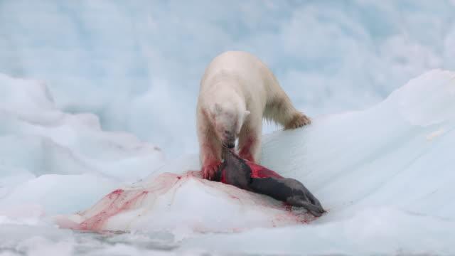 stockvideo's en b-roll-footage met polar bear killing and eating a harp seal - zeehond
