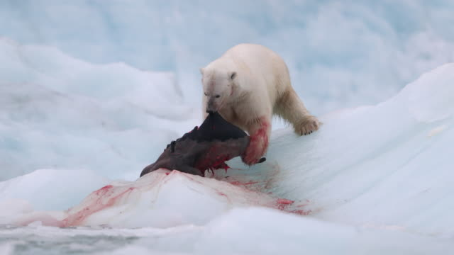 polar bear killing and eating a harp seal - feeding stock videos & royalty-free footage