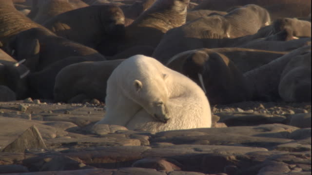 a polar bear licks a wound from a walrus tusk as it lies near a colony of walruses. available in hd. - eisbär stock-videos und b-roll-filmmaterial