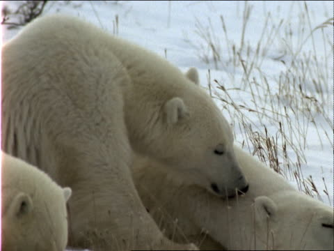 a polar bear licks another polar bear. - affectionate stock videos & royalty-free footage