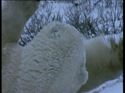 polar bear licks forelegs, churchill - auf dem rücken liegen stock-videos und b-roll-filmmaterial
