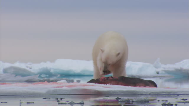 vidéos et rushes de a polar bear licks its paws as it eats seal on sea ice near svalbard, arctic norway. - phoque