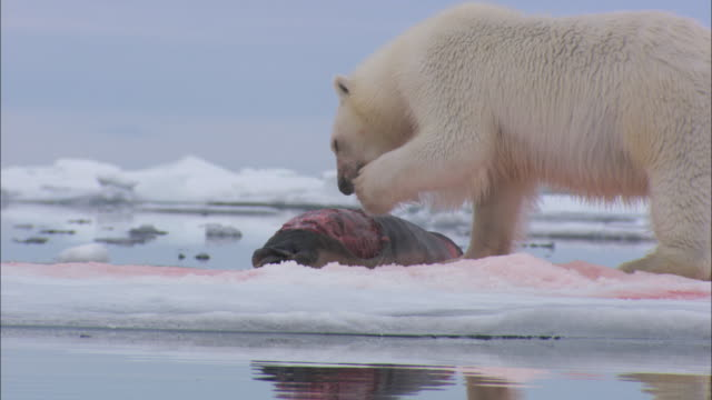 vídeos y material grabado en eventos de stock de a polar bear licks its paws while it feeds on a seal carcass in svalbard, norway. - lamer
