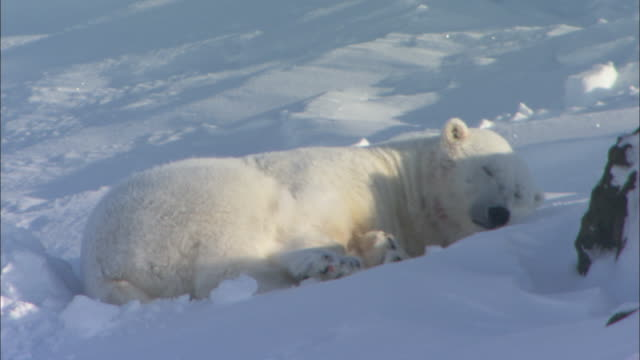 A polar bear lies in its den in the snow in Svalbard, Arctic Norway.
