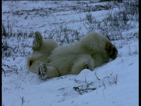 polar bear lies in snow, churchill - auf dem rücken liegen stock-videos und b-roll-filmmaterial