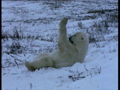 polar bear lies on back in snow licking forelegs, churchill - auf dem rücken liegen stock-videos und b-roll-filmmaterial