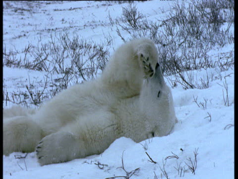 polar bear lies on back in snow licking paw, churchill - auf dem rücken liegen stock-videos und b-roll-filmmaterial