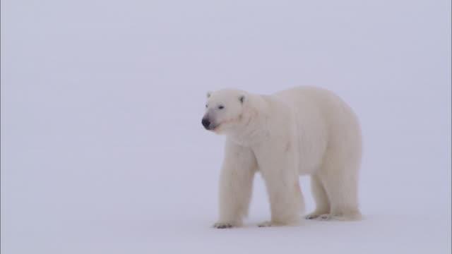 vídeos y material grabado en eventos de stock de a polar bear looking around and walking on the snow-covered ground in the north pole - clima polar
