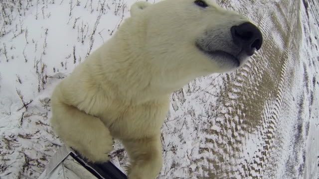 polar bear looking away rearing up on vehicle during winter - fairbanks, alaska - animal nose stock videos & royalty-free footage