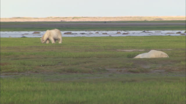 a polar bear looking for the prey on the grass in the north pole - carnivora stock videos and b-roll footage