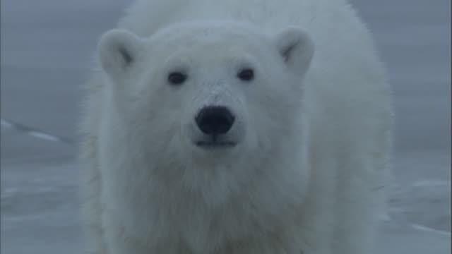 a polar bear looks around and walks over ice in churchill, canada. - 動物の頭点の映像素材/bロール