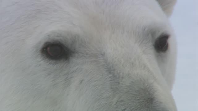 a polar bear looks around on sea ice near svalbard, arctic norway. - animal head stock videos & royalty-free footage