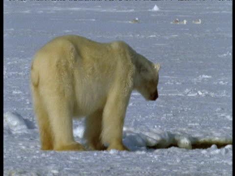 vídeos y material grabado en eventos de stock de polar bear looks into breathing hole, grise fjord - animales cazando