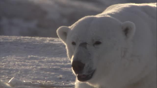 a polar bear lumbers over snow. - bär stock-videos und b-roll-filmmaterial