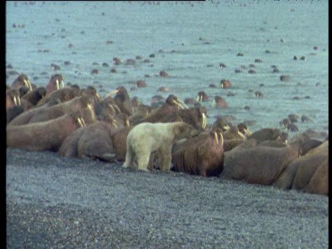 polar bear lumbers towards walruses, wrangel island - きまり悪さ点の映像素材/bロール