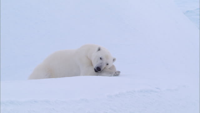 a polar bear lying down and sleeping on the snow-covered ground in the north pole - kopf nach hinten stock-videos und b-roll-filmmaterial