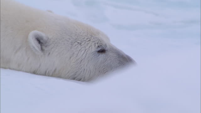 vídeos de stock e filmes b-roll de a polar bear lying down and sleeping on the snow-covered ground in the north pole - animal hair