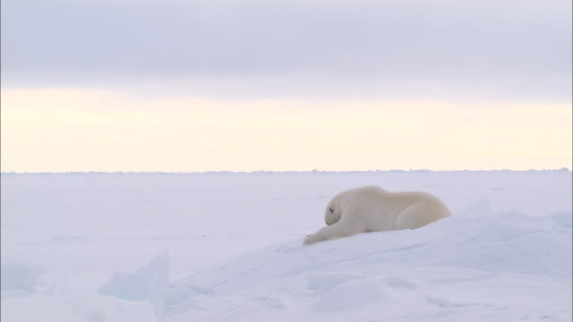 vídeos de stock e filmes b-roll de a polar bear lying down and sleeping on the snow-covered ground in the north pole - enterrado